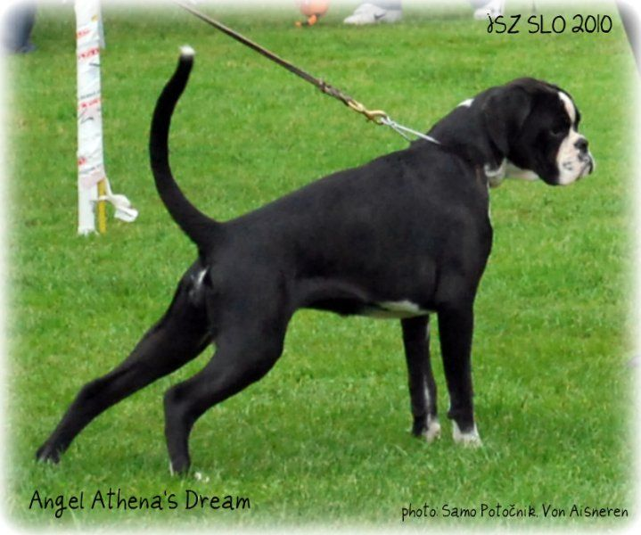 JSZ Slovenia 2010,Angel Best female of Slovenian breeding